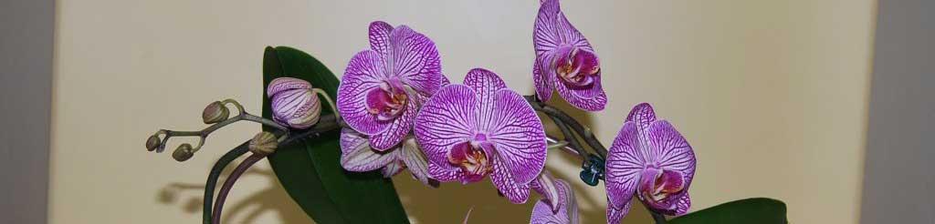 Orchideenbogen